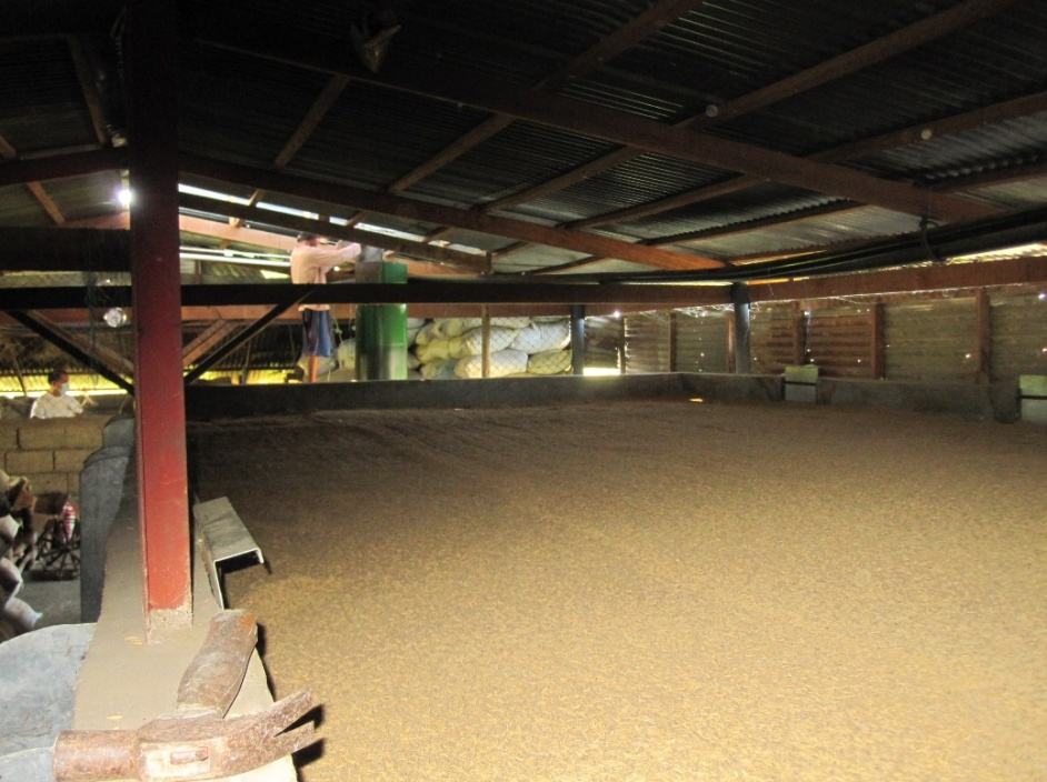 Paddy Seeds being dried in the Flatbed Dryer using the Gasifier